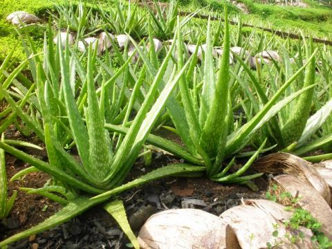The Health Benefits of Aloe Vera Gel and Juice